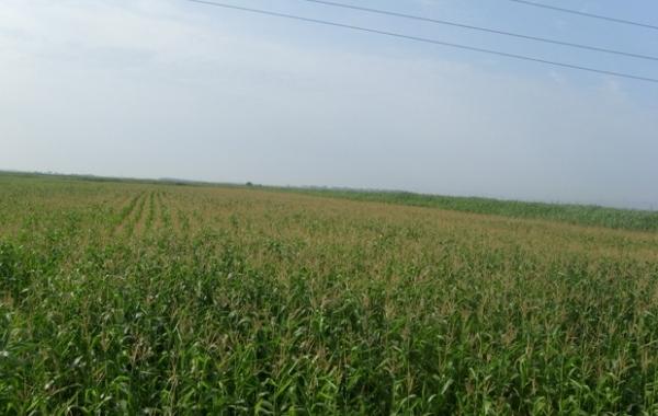 ЗАО Агрофирма, рисовое поле